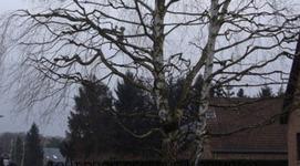Jardimpact - Schaerbeek - Abattage & élagage